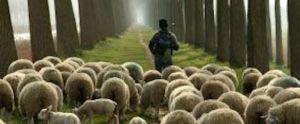 sheherd-leading-sheep