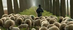 sheherd-leading-sheep