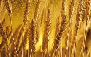 First fruits of the wheat harvest, a summer crop.