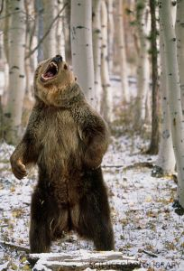 angry-bear-standing